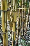 Bambù cinesi 55 Semi, perfetta ornamentale giardino domestico di DIY piante, germogli di bambù commestibili