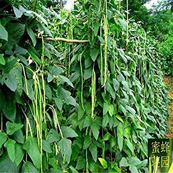 Arrivée Offre spéciale Petit Tempéré annuel Exclu Embellir de légumes Semences long haricots 10 graines