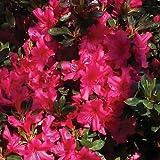 Semi Rododendro Rosa azalea Bush (Rhododendron ferrugineum) 50 + Semi