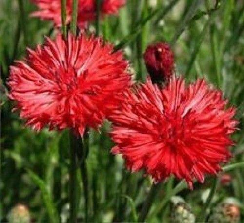 Bouton Bachelor, Graines hautes fleurs rouges - frais et main incluse dans le paquet (150 + graines)