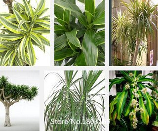 2016 Multi Couleurs Jardin arbre Graines 100pcs Graines Dracaena Couleurs vivaces Beautifying Mix