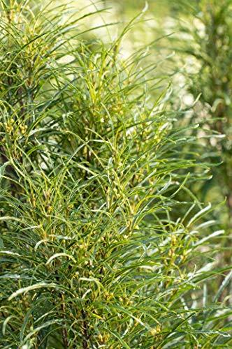 Farnblättriger Faulbaum Frangula alnus 'Fine Line' -R- im Topf gewachsen ca. 60-80cm