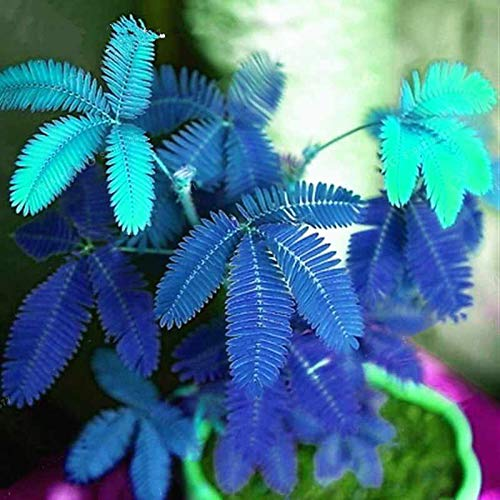 Mimose Seed 20Pcs, 1 Beutel Mimose Seed Natural High Keimungrate Blau Blau Mimose Seed für Ideal Outdoor-Garten Geschenk