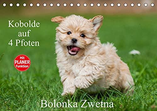 Kobolde auf 4 Pfoten - Bolonka Zwetna (Tischkalender 2022 DIN A5 quer)