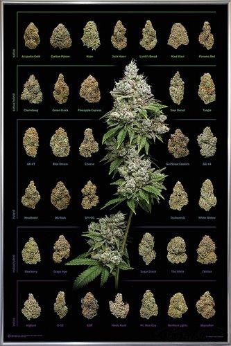 Close Up Cannabis Poster Dank Nugs Marihuana-Sorten (93x62 cm) gerahmt in: Rahmen Silber