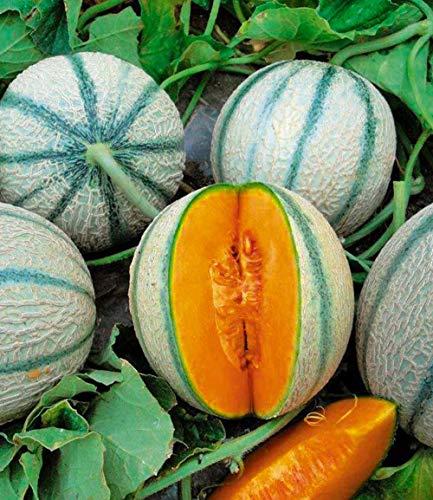 Inkeme Giardino - Fragranza biologica Semi di melone Mini melone Semi di melone Semi di frutta da frutto Succosa casa dei bonsai Pianta perenne resistente per giardino balcone/patio