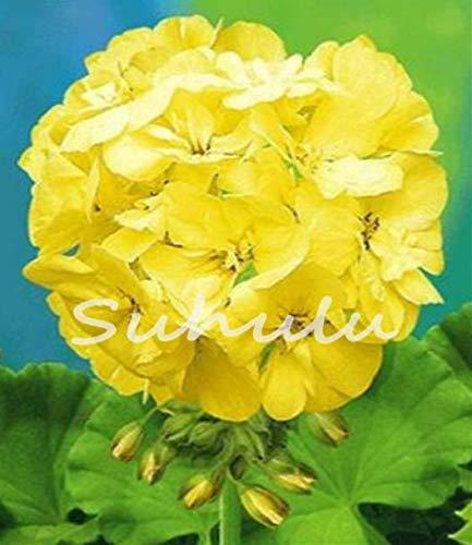 ScoutSeed 30 Unids Raro Amarillo Semilla de Geranio Semillas de Flores Perennes Pelargonium Peltatum