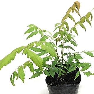 (株)赤塚植物園 ④ 憧れの蜜源植物 タイワンモクゲンジ 3.5号苗