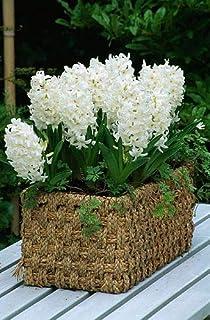 Nuevos 100pcs color mezclado bonsai jacinto de bulbos de flores raras no beautifl flores perennes de interior para el hogar jardín blancas (s) sólo semillas
