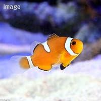 (海水魚)カクレクマノミ イレギュラーバンド(国産ブリード)(1匹) 北海道・九州・沖縄航空便要保温