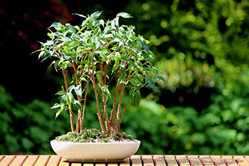 1139A-Weeping Fig Tree (Ficus Benjamina) Seeds by Robsrareandgiantseeds UPC0764425787600 Bonsai,Non-GMO,Organic,Historic Plants,Sacred, 1139-A Package of 7 Seeds