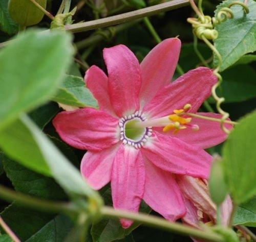 10 BANANA PASSION FRUIT Seed (Passiflora mollissima) aka curuba, poka de bananes