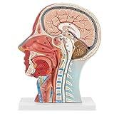 Anatomique humain anatomique demi-tête anatomique médical tête taille réelle cerveau cou Section médiane modèle d'étude