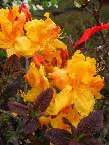 bronzegelb blühende Garten Azalee Rhododendron luteum Klondyke 30-40 cm hoch im 5 Liter Pflanzcontainer