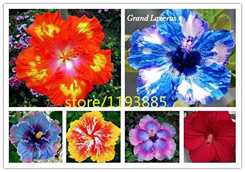 100pcs / Seed sac Dinnerplate Hibiscus / Red Hot / Perennial Fleur / Facile à cultiver / Huge 10-12 pouces Fleurs bonsaï graines de fleurs