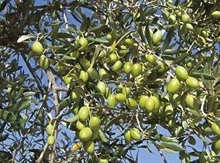 1 Olive Tree 'Mission' Olea Europaea - Live Plant