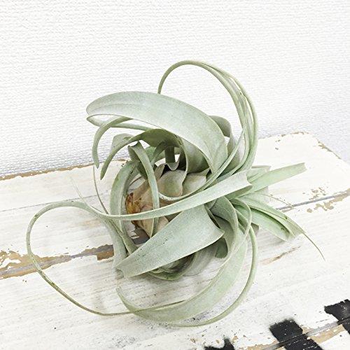 観葉植物のパーフェクトグリーン『キセログラフィカチランジア』