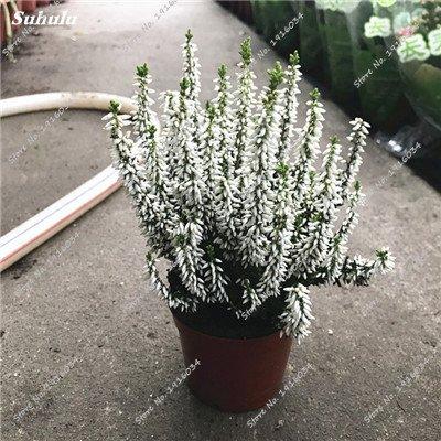 Happy Farm gypsophile Etoiles Sky Seed Hybrids Flower Seed jardin décoratif Aménagement paysager, Plante vivace Fleur 150 Pcs 4
