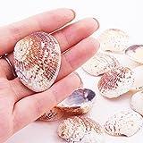 PandaHall 50 Stück Natürlichen Muschel Perlen Deko Muscheln zum Basteln - 2
