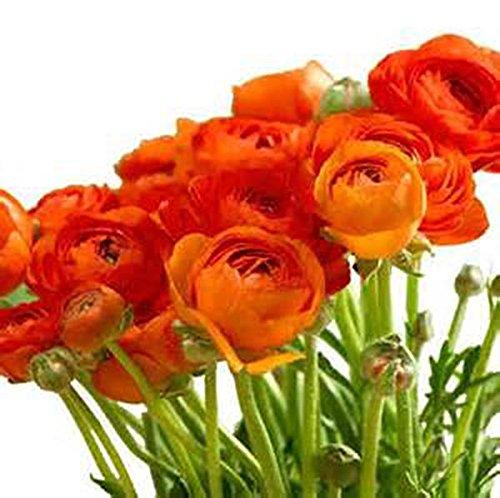 Orange French Peony Ranunculus - 12 Largest Size Corms Bulbs