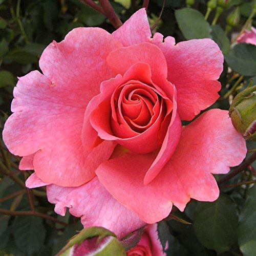 """Kletterrose """"Schloss Bad Homburg (Premium) - lachsrosa blühende Topfrose im 6 L Topf - frisch aus der Gärtnerei - Pflanzen-Kölle Gartenrose"""