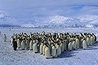 皇帝ペンギンコロニー動物 - #10532 - キャンバス印刷アートポスター 写真 部屋インテリア絵画 ポスター 90cmx60cm
