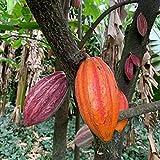 TOYHEART 20 Pezzi Semi Di Ortaggi Premium, Semi Di Piante Bellissimi Semi Di Cacao Naturale Ad Alta Germinazione Per Prato semi