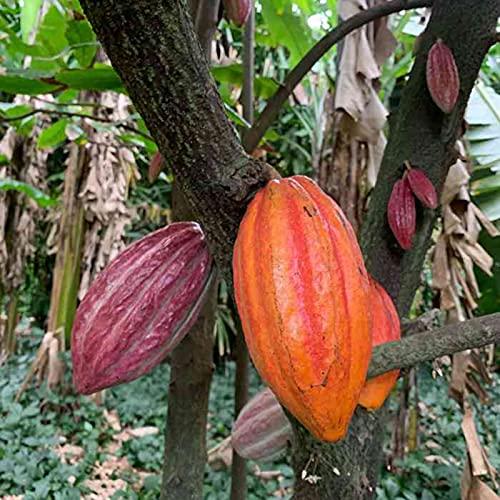 TOYHEART 20 Piezas De Semillas De Hortalizas De Primera Calidad, Semillas De Plantas Hermosas Semillas De Cacao Natural De Theobroma De Alta Germinación Para Césped Semillas