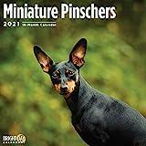 Bright Day Miniatur-Pinschers Wandkalender 2021, 30,5 x 30,5 cm, niedlicher Hund