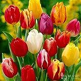 Darwin Hybrid Tulip Mix 25 Bulbs