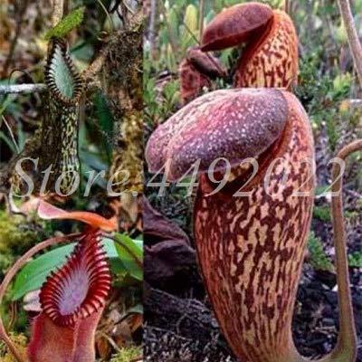 AGROBITS 300 pièces rayées Nepenthes Bonsai Manger moustiques Plantes carnivores Pitcher Tropical Catch Jardin des insectes pour Flower Pot en pot: 13