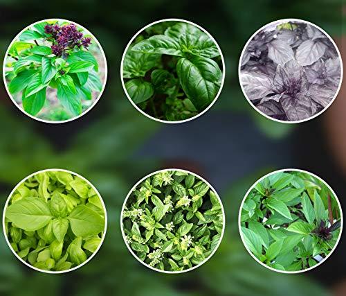 Basilikum-Samen-Mix 6 x 250 Basilikumsamen ganzjährig pflanzen aus Portugal Saatgut mehrjährig