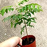 Garden, 100Pcs Curry Leaf Tree Seed Petted Culinary Herb Outdoor Non-GMO Ornamental Open Pollinated Plants Seeds, Yard Office Home Decoration - Curry Seeds