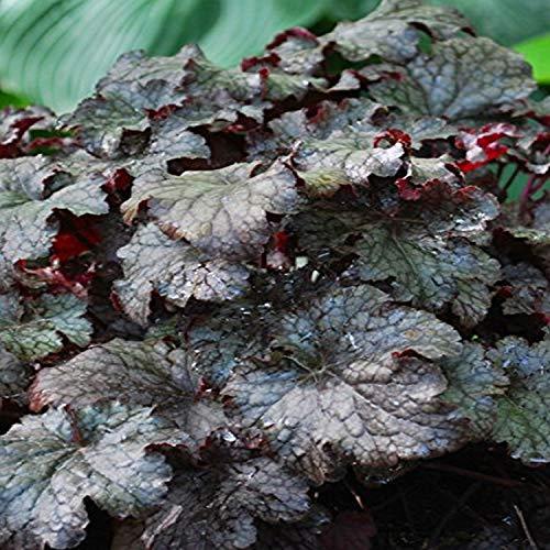 Perennial Farm Marketplace Heuchera x 'Plum Pudding' (Coral Bells) Perennial, Size-#1 Container, Shiny Dark Purple Foliage