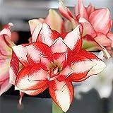 アマリリス球根ポット植栽物議を醸す格好良いエキゾチックな盆栽バルコニーホームヒストリック,2球根