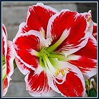 アマリリス園芸植栽*エレガントでかわいい,美しい優しい花新鮮な家咲く花の装飾的な価値,周囲12-16センチ