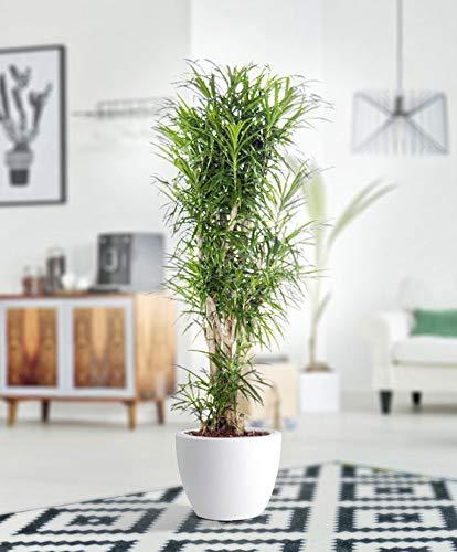 Qulista Samenhaus - 10pcs Raritäten Drachenbaum 'Anita' Zimmerpflanzen Baum Saatgut Blumensamen exotisch winterhart