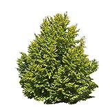1000 Samen Rotbuche (Fagus sylvatica) (Heimischer Baum - Winterhart)