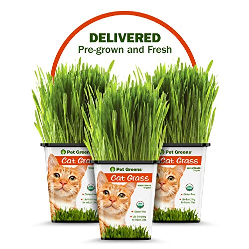 PET GREENS PRE-GROWN 3-PACK OF LIVE CAT GRASS for Indoor...