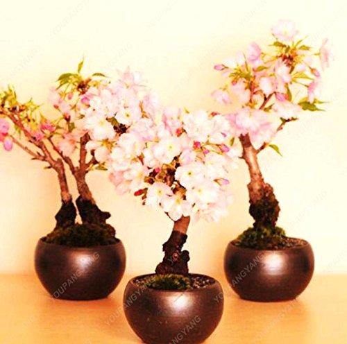 10pcs/sac Japon Mini sakura Graines rose cerise fleur couleur Sakura graines se développent facilement bonsaï, pot de jardin rouge