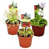 dionaea muscipula pflanzen und substrate bestellen pflege pflanzenfreunde. Black Bedroom Furniture Sets. Home Design Ideas