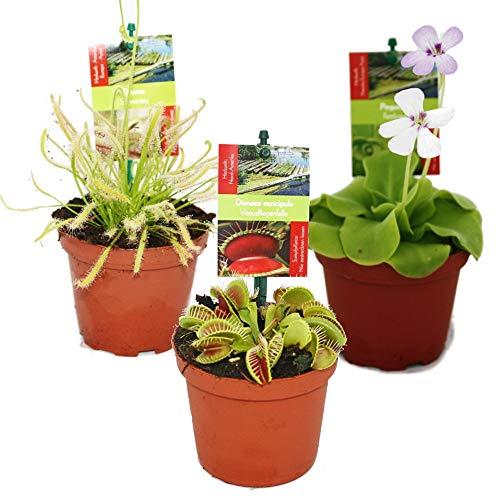 Exotenherz - Starter Set Fleischfressende Pflanzen - 3 Pflanzen