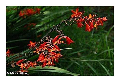 Chasmanthe aethiopica - Kobralilie - 5 Samen