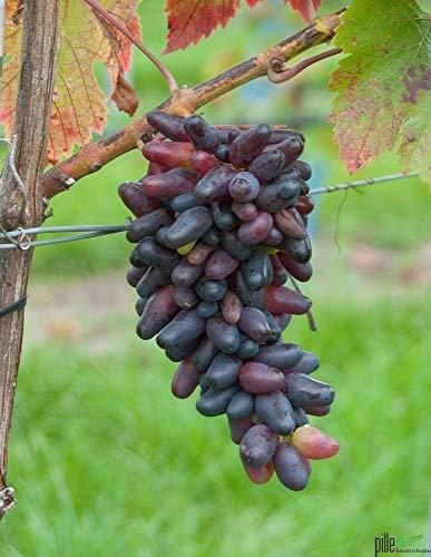 Weintraube Pflanze Souvenir Vitis Weinreben Datteltraube Dattelförmig winterhart Wein süß blau schwarz 60-100 cm im 2 Liter Topf