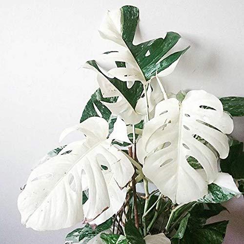 C-LARSS 100Pcs White Monstera Palm Turtle Blätter Pflanzensamen Einfach Zu Pflanzen Garten Balkon Bonsai Dekor Monstera Samen 100 Stück