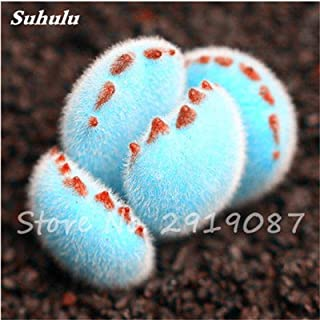 Hot-Sale! 200 Pcs Rare Mini Blue Lithops Seeds Cactus Succulent Seeds Ass Flowers Stone Bonsai Balcony Plant For Diy Home Garden 2