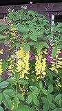 Goldregen Laburnum watereri Vossii 100-125 cm hoch im 7,5 Liter Pflanzcontainer
