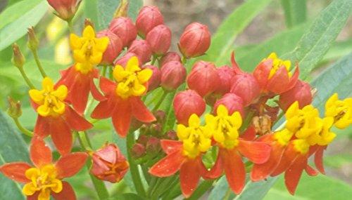40 Samen von Blut-Blume Milkweed