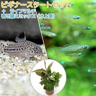 (熱帯魚)(水草)ビギナースタートセット アフリカン・ランプアイ(10匹)+コリドラス・トリリネアータス(1匹)