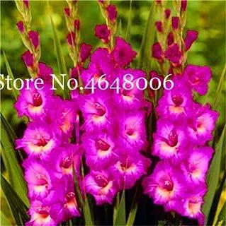 FARMERLY Paquete de semillas Jardín Bonsai gladiolo, No Gladiolo Bulbos, Planta de tiesto -Color Semillas De Flores 95% de germinación 200 PC: p